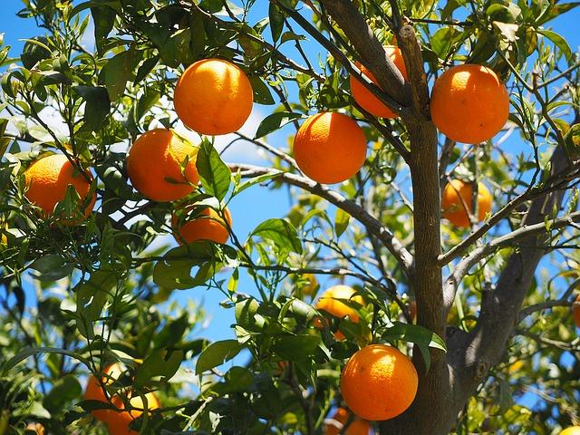 Citrusricus: Orangenbaum-Patenschaft übernehmen