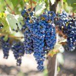 Traubenkernöl: Kleine Kerne ganz groß